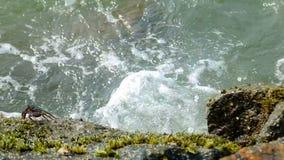 Krab die van steen aan steen springen stock videobeelden