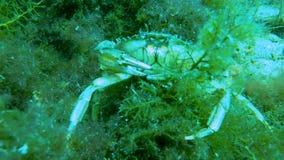 Krab die zich over onkruid-behandelde steen onder water, het aanvallen camera met klauwen bewegen stock footage
