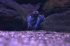 Krab in een stroom royalty-vrije stock afbeelding