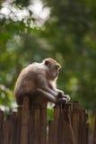 Krab-eet macaque Stock Afbeelding