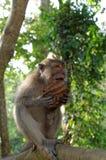 Krab-eet macaque etend kokosnoot Stock Foto