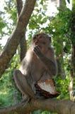 Krab-eet macaque etend kokosnoot Royalty-vrije Stock Fotografie