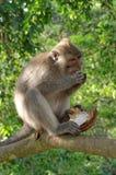 Krab-eet macaque etend kokosnoot Royalty-vrije Stock Foto