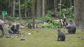 Krab-eet macaque, Macaca-fascicularis, als macaque met lange staart, Sangeh-Aap Forest Bali ook wordt bekend dat stock videobeelden