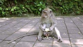 Krab-eet macaque, Macaca-fascicularis, als macaque met lange staart, Sangeh-Aap Forest Bali ook wordt bekend dat stock footage