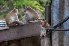 Krab-eet macaques in de stad royalty-vrije stock afbeeldingen