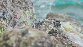 Krab en rockskipper op de rots bij het strand stock videobeelden