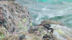 Krab en rockskipper op de rots bij het strand stock footage