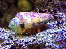 Krab en shell stock fotografie