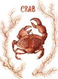 Krab i gałęzatka ilustracja wektor