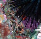 Krab i Purpurowy Denny czesak Obraz Stock