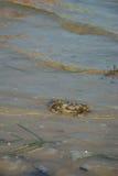 Krab langs de Baai Stock Fotografie
