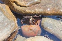 Krab między skałami Obraz Royalty Free