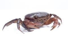 Krab na białym tle Zdjęcia Stock