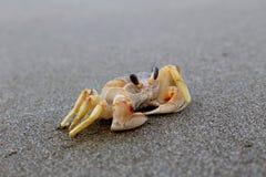 Krab na czerni plaży Zdjęcie Stock