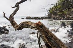 Krab na drzewie nad oceanem obraz stock