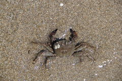 Krab na piasku, lato 2014 obrazy royalty free