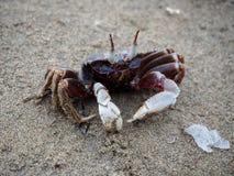 krab na plaży Obrazy Royalty Free