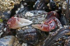 Krab na skale Fotografia Stock