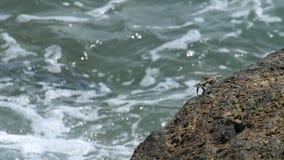 Krab na skale przy plażą zbiory wideo