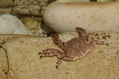 Krab na stone.beach Pechon, Cantabria, Hiszpania fotografia stock