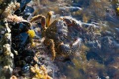 Krab na wybrzeżu morze w Francja Fotografia Stock