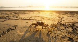 Krab na złotym piasku dennego wybrzeża natura obrazy royalty free