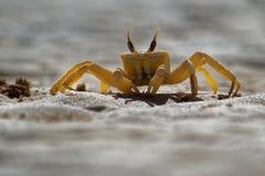 Krab - Ocypode kursor z jego środowiskiem w boa Vista, przylądek Verde, Cabo Verde, Atlantycki ocean Zdjęcia Stock