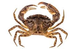Krab, odizolowywający na białym tle Zdjęcia Royalty Free