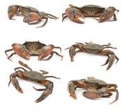 krab odizolowywający Zdjęcia Royalty Free