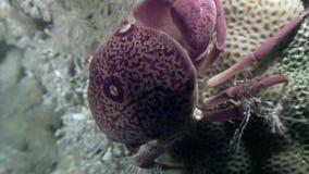 Krab onderwater op zeebedding in koraal van oceaan stock footage