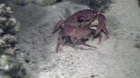Krab onderwater op zeebedding in koraal van oceaan stock video