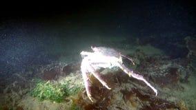 Krab op de Barentsz Zee stock video