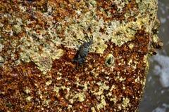 Krab op de rots Royalty-vrije Stock Fotografie