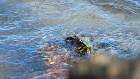 Krab op de rots bij het strand stock video