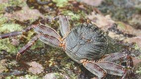 Krab op de rots bij het strand stock videobeelden