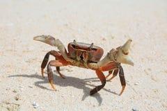 Krab op een zandig strand Stock Afbeelding