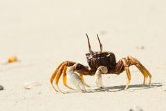 Krab op het strand Stock Afbeeldingen