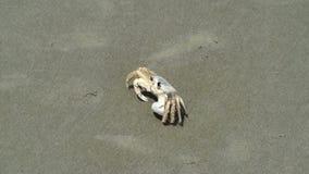Krab op het strand stock videobeelden