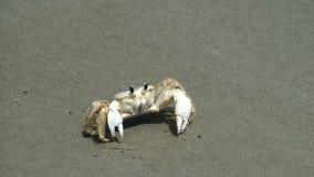Krab op het strand stock footage