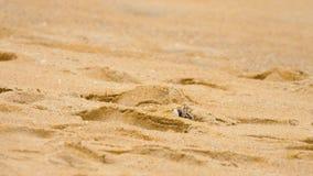 Krab op het zandige strand stock video