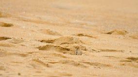 Krab op het zandige strand stock footage