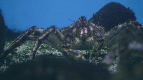 Krab op overzeese bodem Krab in oceanariumwater Wilde dierlijke onderwaterwereld stock footage