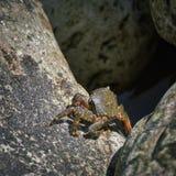 Krab op rots Royalty-vrije Stock Foto
