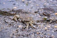 Krab op Sandy Bay Beach Royalty-vrije Stock Foto's