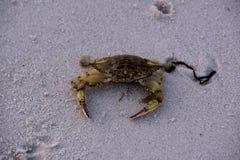 Krab op Sandy Bay Beach Stock Foto
