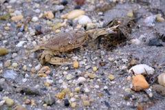 Krab op Sandy Bay Beach Royalty-vrije Stock Afbeeldingen