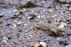 Krab op Sandy Bay Beach Stock Fotografie