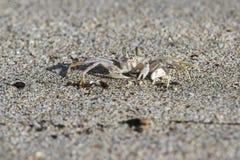 Krab op strand stock fotografie