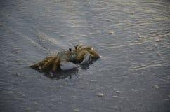 Krab op strand Royalty-vrije Stock Afbeeldingen